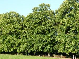Les châtaigniers plantés en 1914 avant le départ à la guerre.